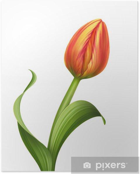 Plakát Orenge tulipán květ ilustrace na bílém pozadí - Květiny