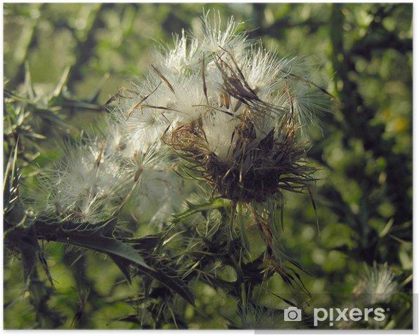 Plakat Oset suchy owocowanie i blow-kul - Rośliny