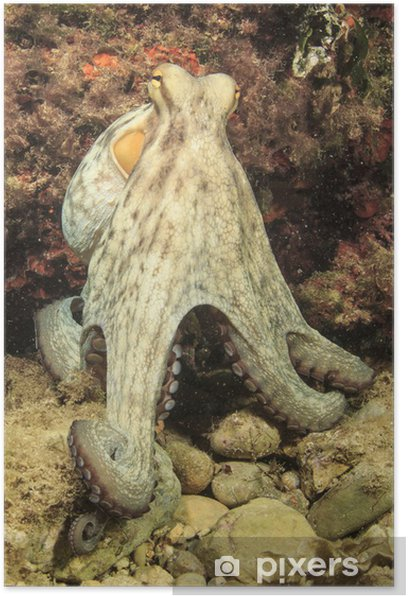 Plakat Ośmiornica - Zwierzęta żyjące pod wodą