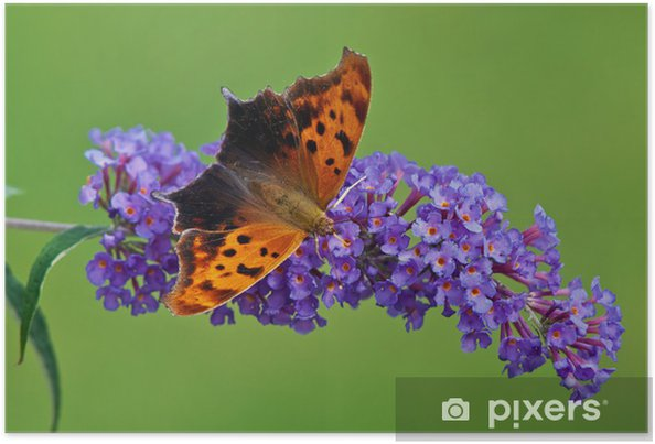 Plakát Otazník motýl na fialové motýlí keř květiny - Témata