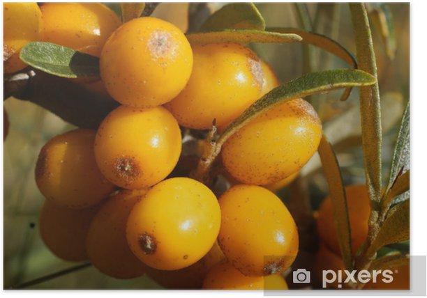 Plakat Owoców rokitnika zwyczajnego - Owoce