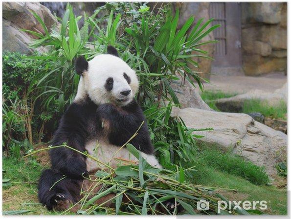 Plakat Panda jedzenia bambusa - Tematy