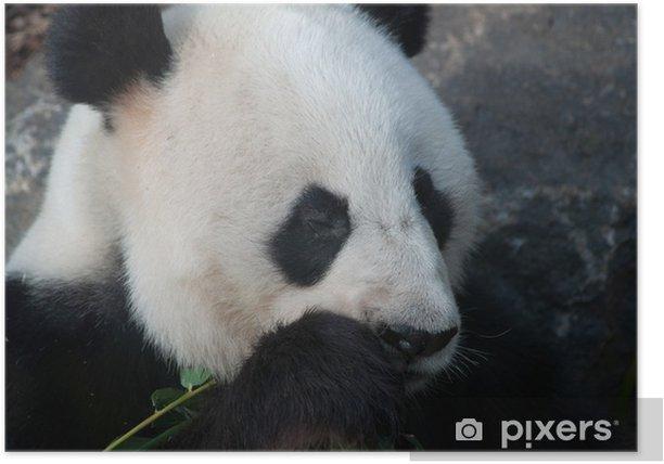Plakat Panda stripping bambusa - Tematy