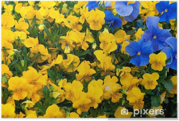 Plakát Pansy Flower - Květiny