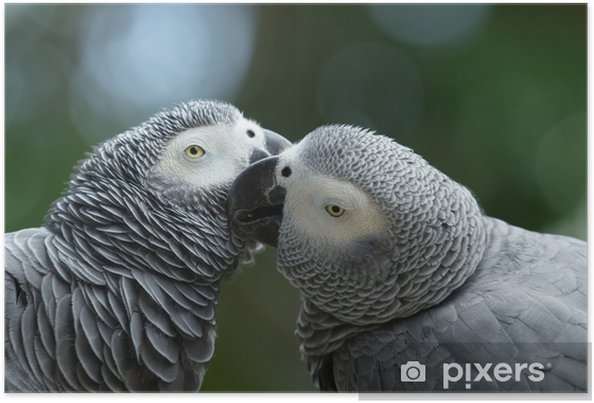 Plakát Papoušek pták - Ptáci