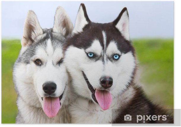 Plakat Para młodych siberian husky - Husky