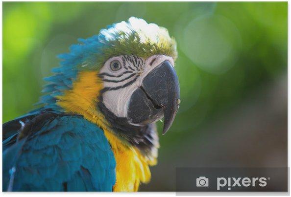 Plakat Parrot Niebieski Gold ara - Ameryka