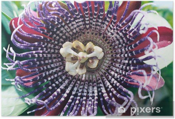 Plakát Pasiflora - Květiny