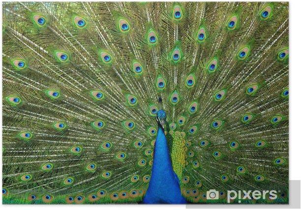 Plakat Pawie pióra - Ptaki