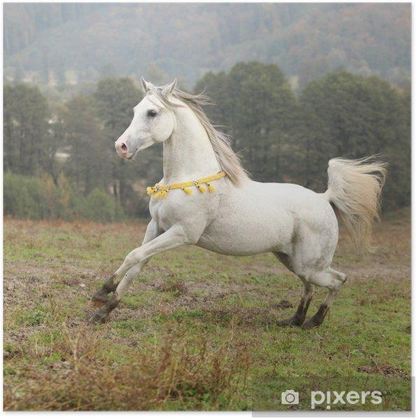 Plakát Pěkný bílý arabský hřebec s létáním hříva - Savci