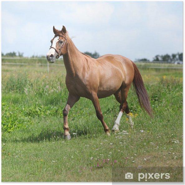 Plakát Pěkný kaštan kůň běžící na louce - Savci