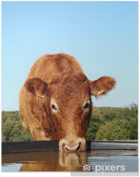 Plakat Picie z głową krowy Limousin Refleksji - Rolnictwo