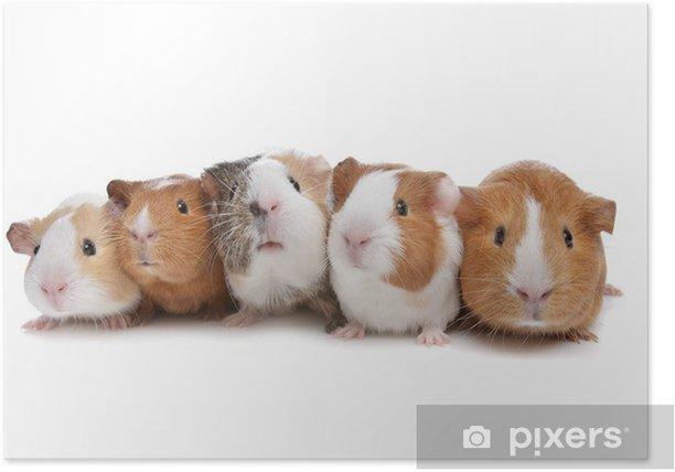 Plakat Pięć świnek morskich - Ssaki