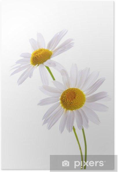 Plakat Piękna Daisy wyizolowanych na białym - Kwiaty