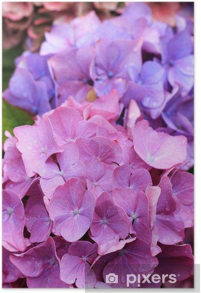 Plakat Piękne hydranges w ogrodzie - Pory roku