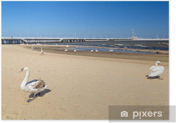 Plakat Piękne łabędzie na plaży w Sopocie - Woda