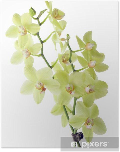 Plakat Piękne orchidee w żółtych barwach - Kwiaty