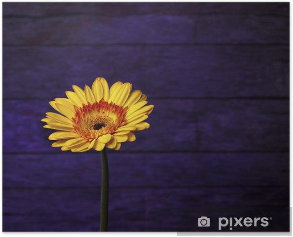 Plakat Piękne złote Gerbera daisy na unikalnym fioletowym tle - Kwiaty