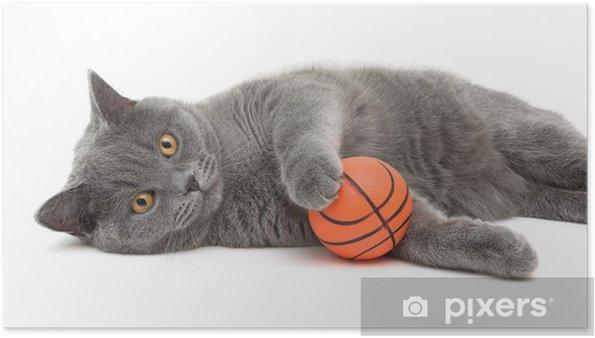 Plakat Piękny kot rasy scottish proste zbliżenie z piłka na białym tle - Ssaki