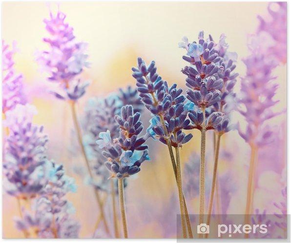 Plakat Piękny lawendowy - Kwiaty