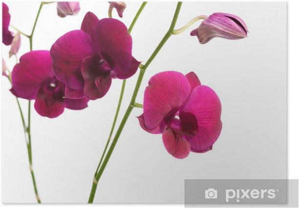 Plakat Piękny purpurowy kwiat orchidei na białym tle - Rośliny i kwiaty