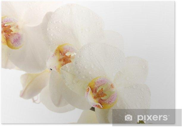 Plakat Piękny storczyk, na białym tle - Kwiaty