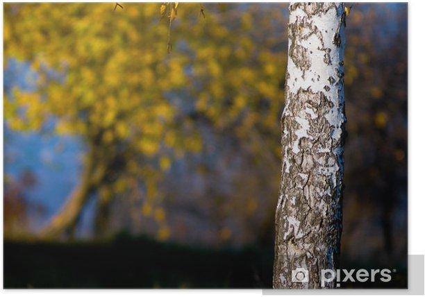 Plakat Pień brzozy z jasnych liściach. - Pory roku