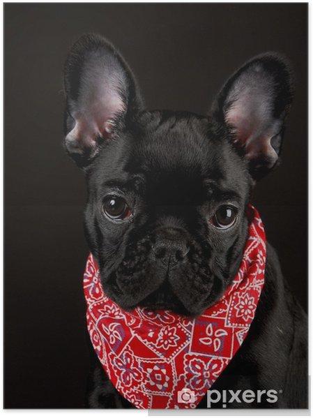Plakat Pies ma na sobie czerwoną bandanę - Buldogi francuskie