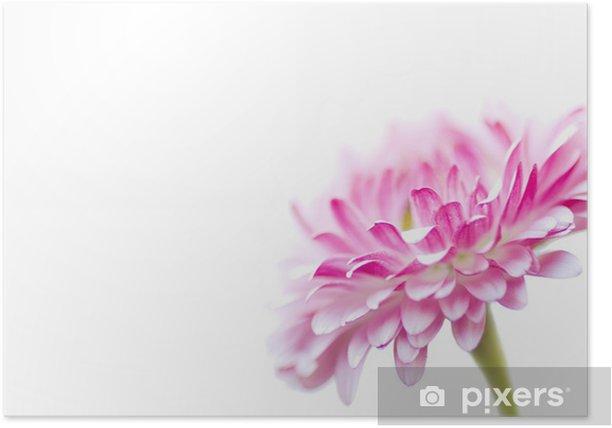 Plakát Pink daisy na bílém - Roční období