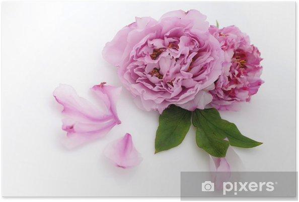 Plakát Pivoňka - Květiny