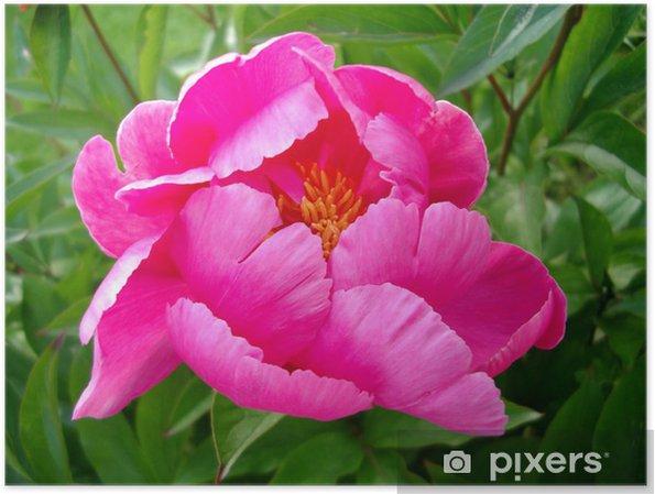 Plakat Piwonia - Kwiaty