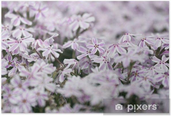 Plakát Plíživý flox - Květiny