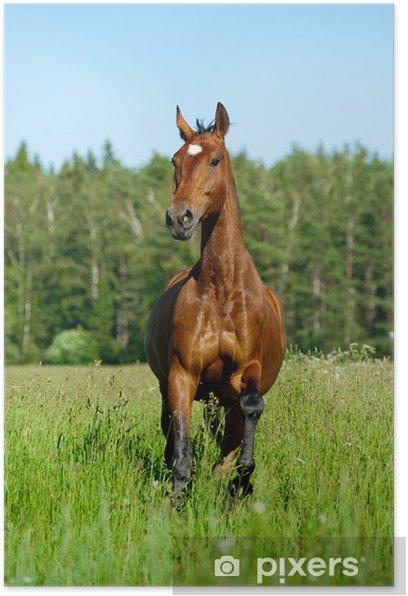Plakát Plnokrevník kůň - Savci