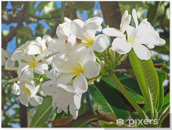 Plakát Plumérie - Květiny