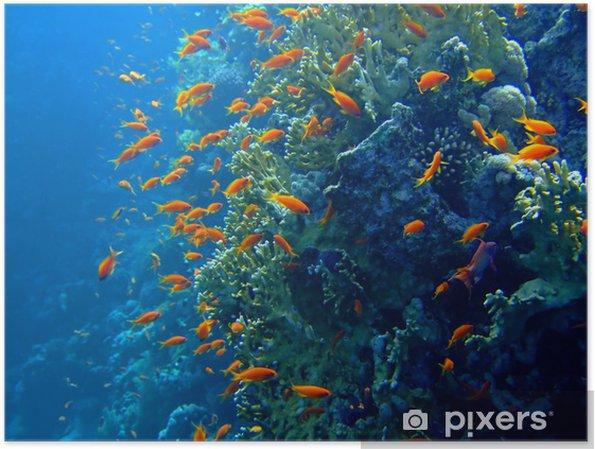 Plakat Podwodne krajobraz Scalefin Anthias. Red Sea - Pod wodą