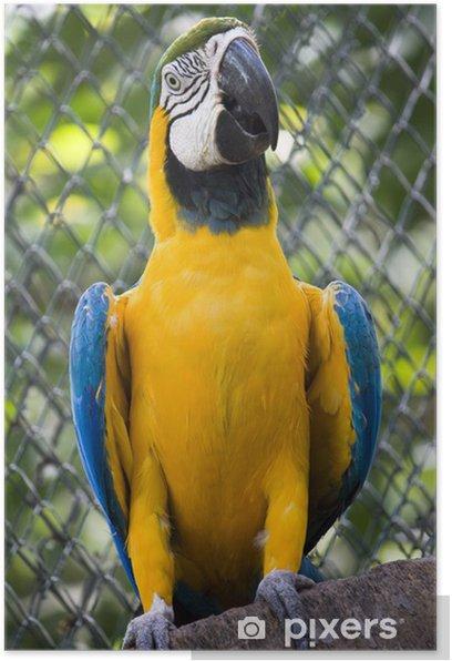 Plakat Pojedyncze niebieski i złota papugi ara w zoo - Tematy