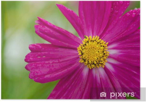 Plakat Pojedynczy kwiat kosmos - Kwiaty