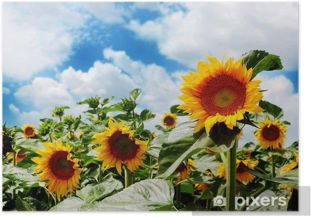 Plakat Pola słoneczników na tle błękitne niebo pochmurne - Niebo