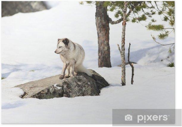 Plakát Polarfuchs - Savci