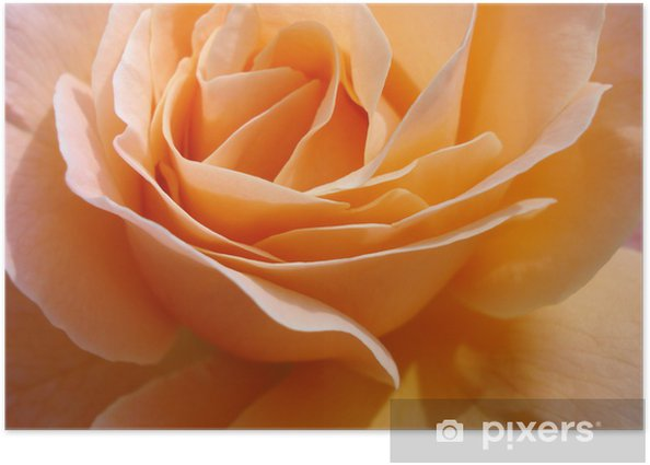 Plakat Pomarańczowy płatków róży - Dom i ogród