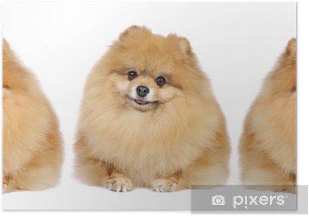 Plakat Pomeranian szpic w studio - Ssaki