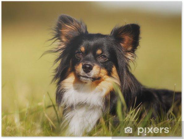 Plakat Portret Chihuahua - Ssaki
