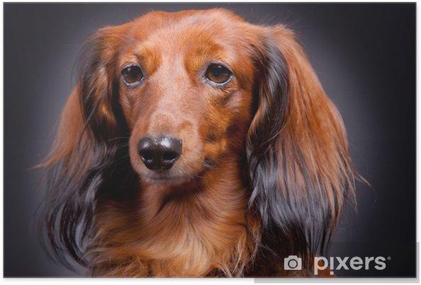 Plakat Portret Dackel - Ssaki