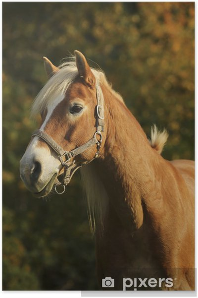Plakat Portret Haflinger strony - Sporty indywidualne