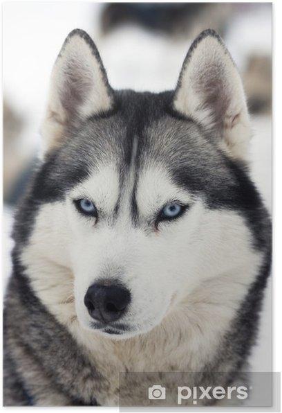 Plakat Portret husky - Husky