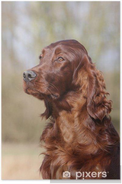 Plakát Portrét krásné a elegantní Irský setr dospělých • Pixers ... 26729d8d3d