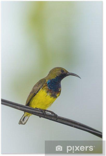Plakat Portret mężczyzny Sunbird Olive oparciem - Ptaki