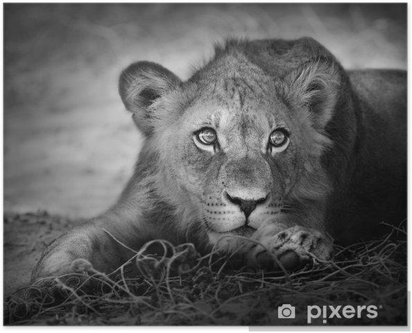 Plakat Portret młodego lwa -