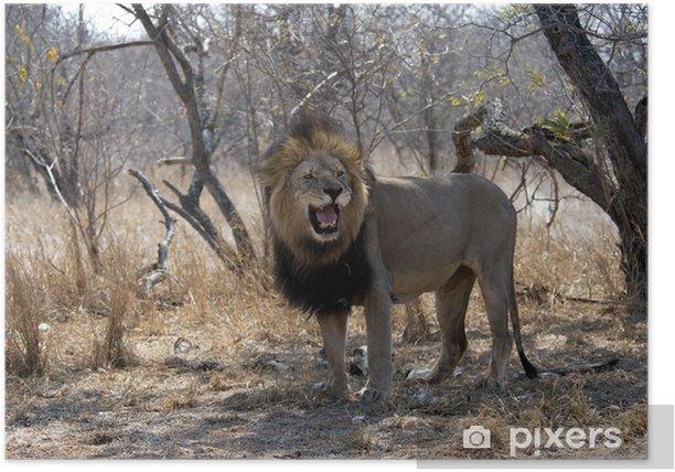 Plakat Portret strzał samiec lwa afrykańskiego - Ssaki