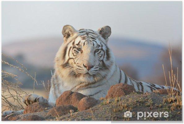 Plakát Portrét velmi vzácné Wild Tiger - Témata